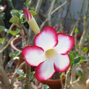 hoa su thai lan